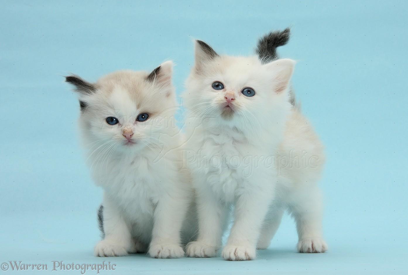 Ragdoll Cross Kittens On Blue Background Photo Wp29241