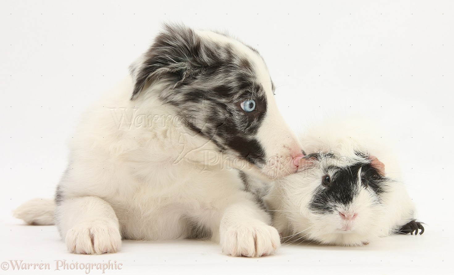 Rough collie puppies blue merle border collie pup and guinea
