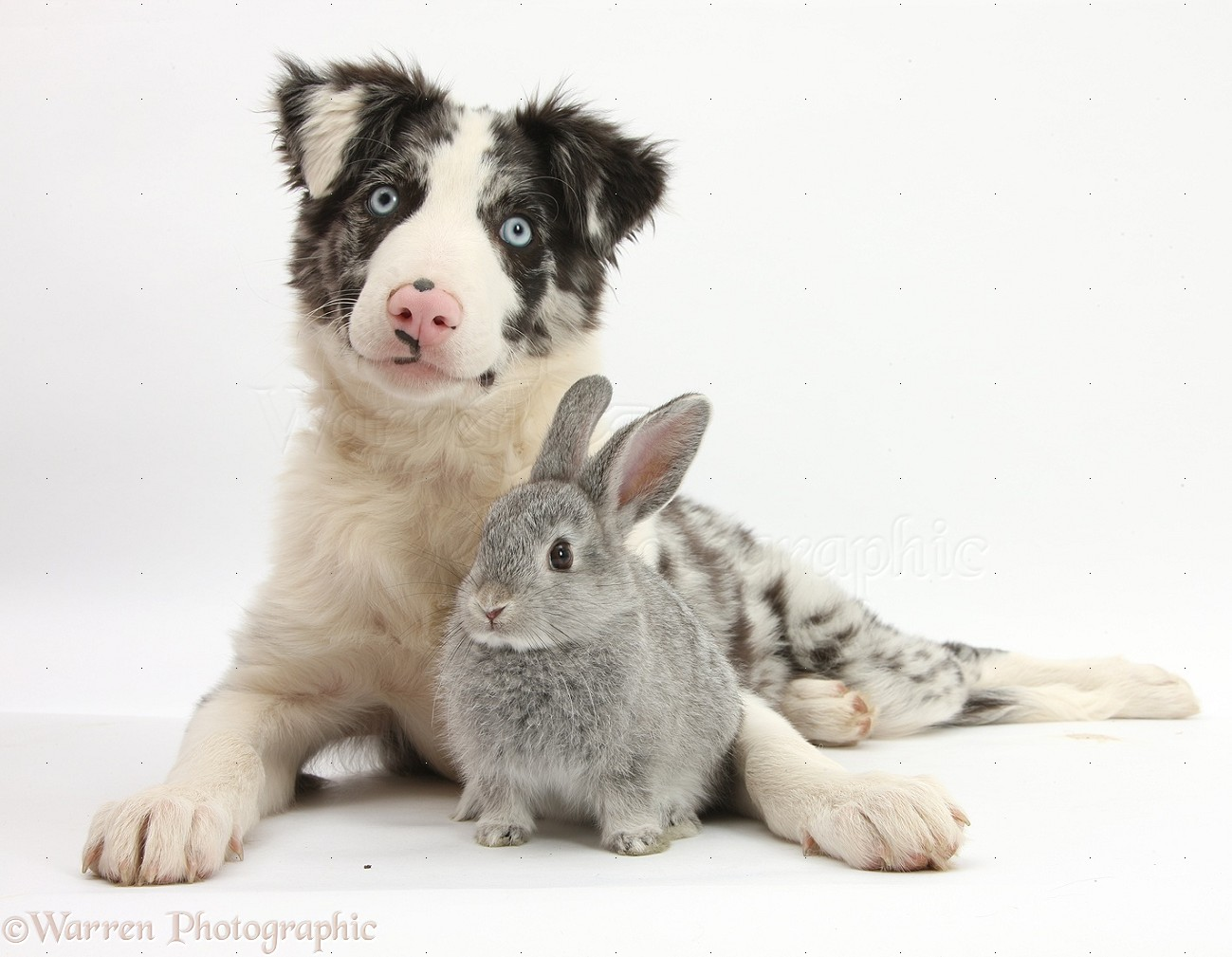 Wp29351 blue merle border collie puppy reef and silver baby rabbit