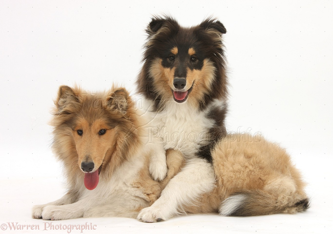 Rough Collies For Adoption