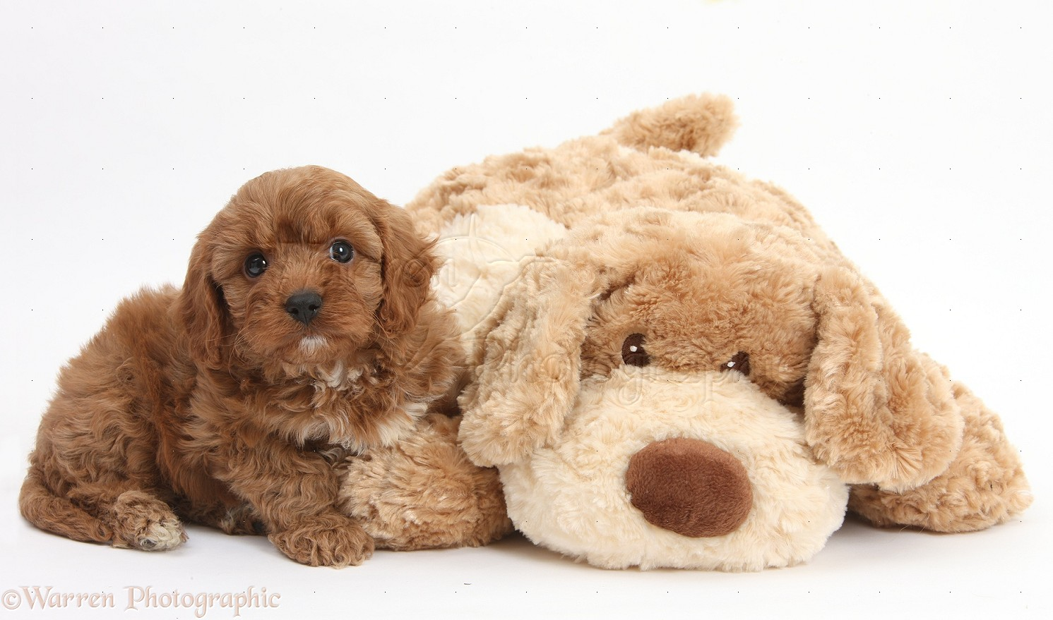 cavapoo pup 6 weeks old and soft toy dog photo wp29512