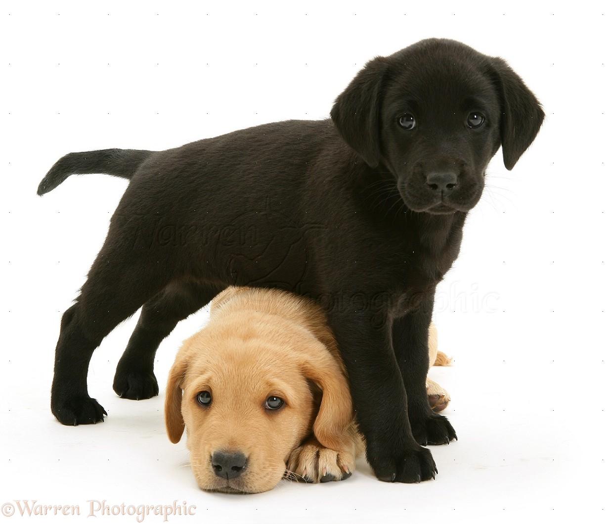 Dogs Black Labrador Pup With Yellow Labrador Pup Photo Wp29552