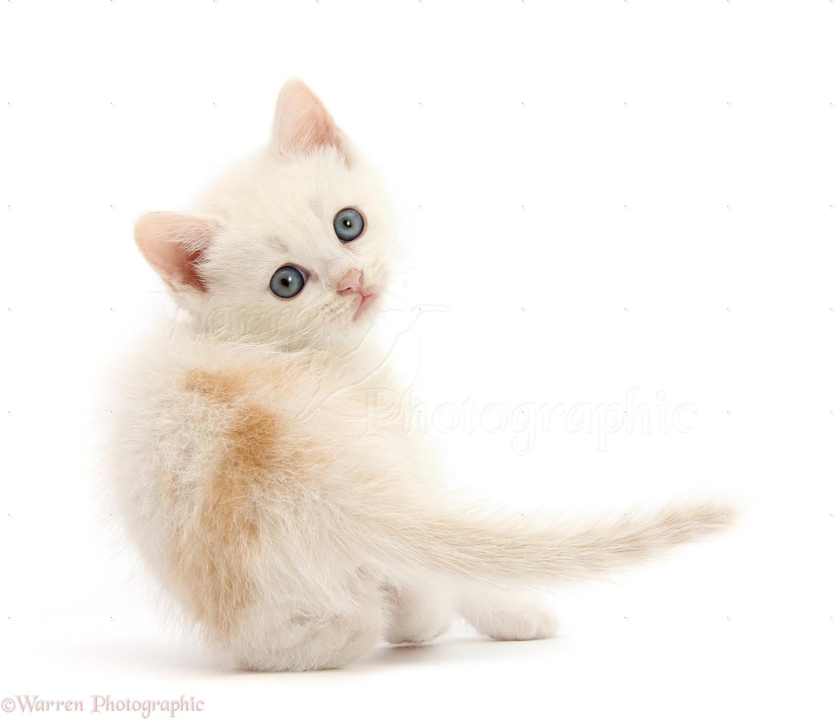 29555-Cream-kitten-looking-over-its-shou