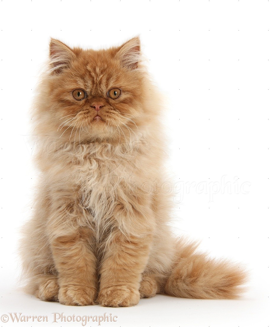 Pics Photos - Persian Kittens Ginger Picture