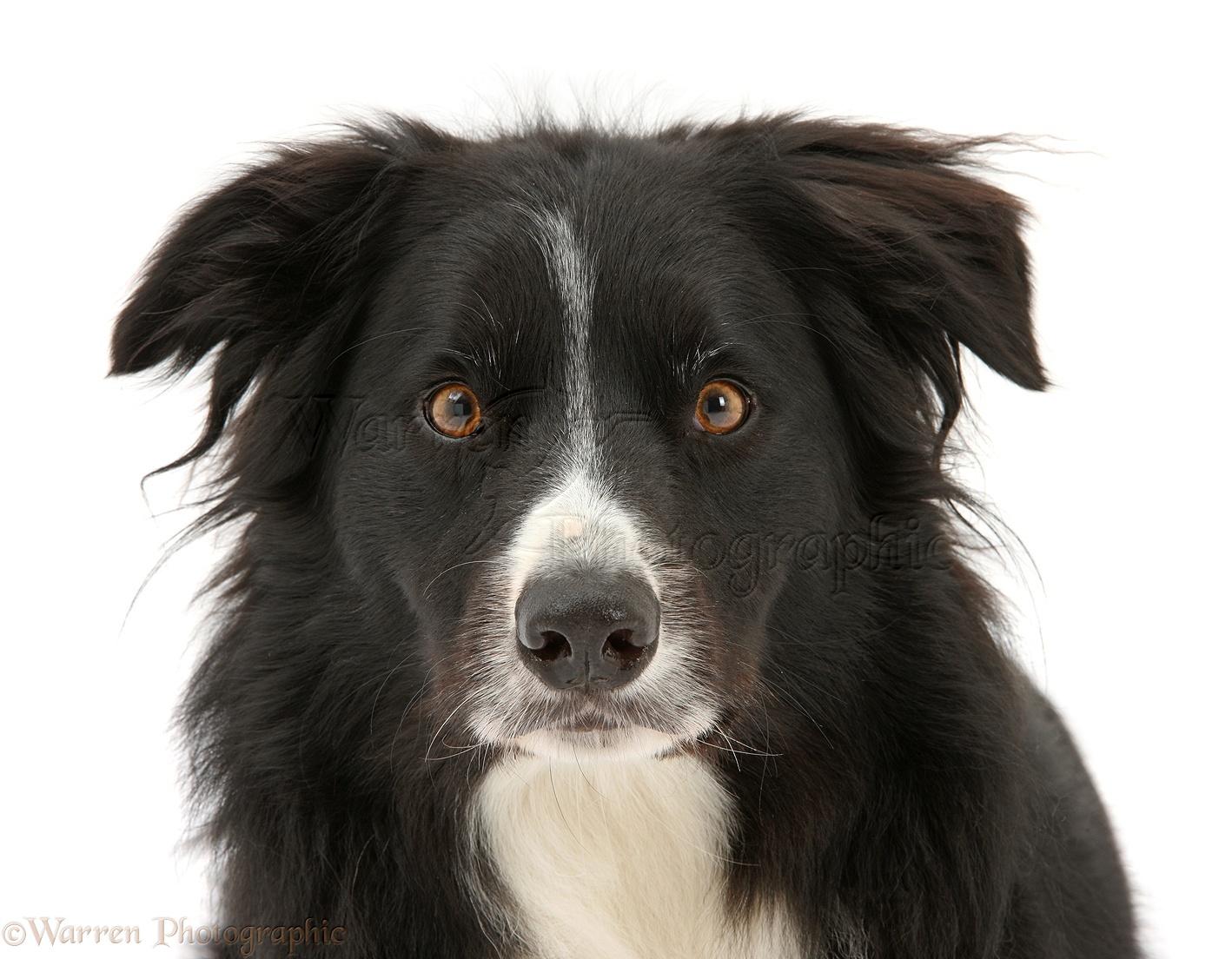 Black-and-white Border Collie dog photo WP29571