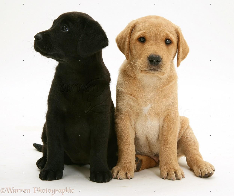 Dogs Black Labrador Pup With Yellow Labrador Pup Photo Wp29611