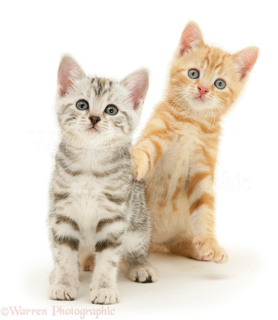 ac3a8d126d Silver tabby and ginger kittens photo WP29642