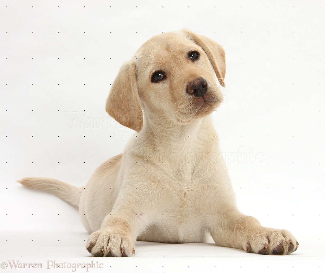 Yellow lab puppy 10 weeks