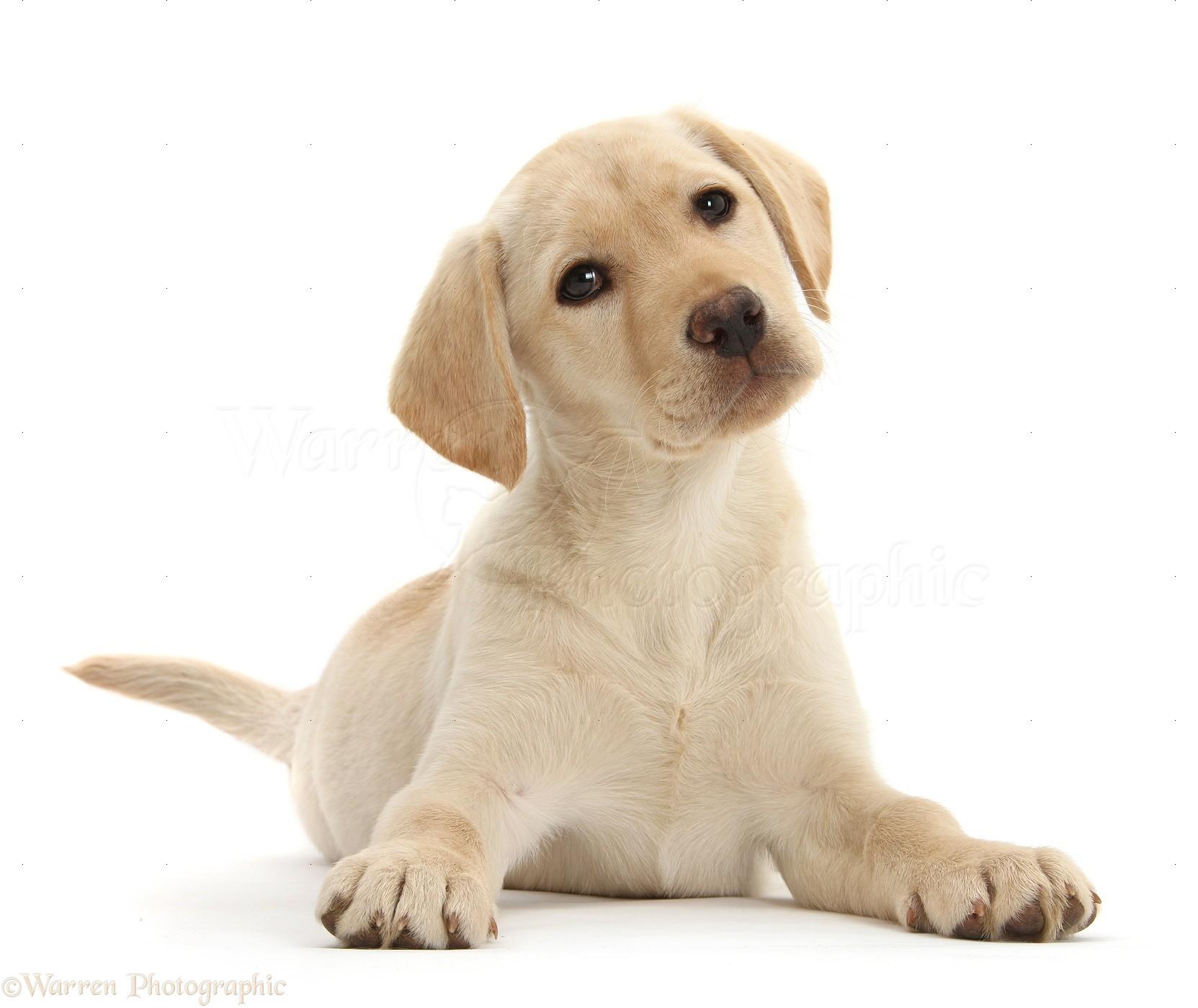 Yellow lab puppy 10 weeks