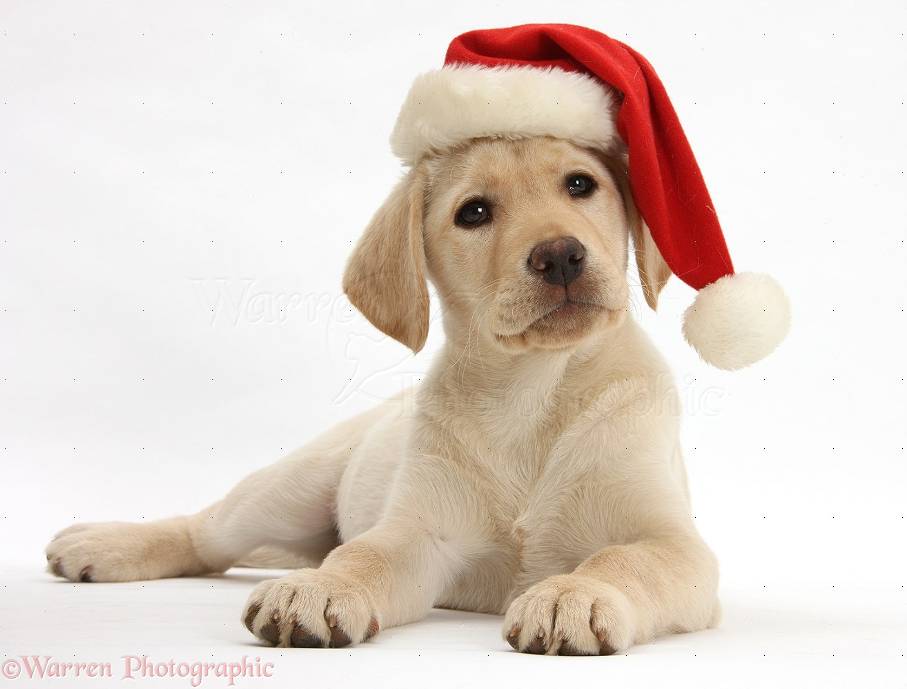 Christmas Hats For Dogs.Dog Yellow Labrador Retriever Pup Wearing Santa Hat Photo