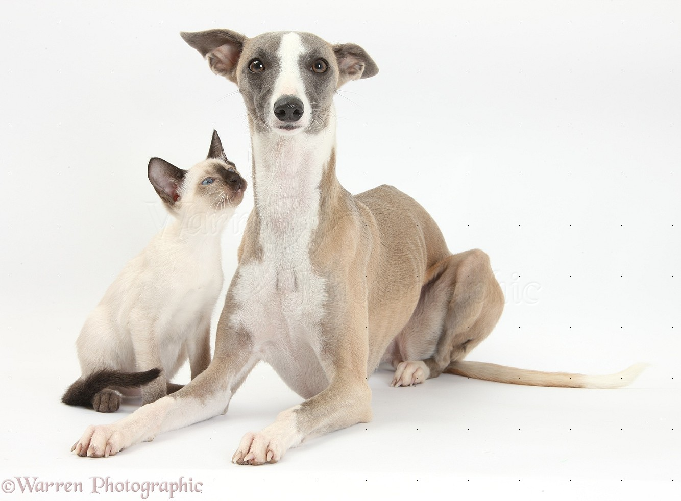 Whippet Dogs And Cats