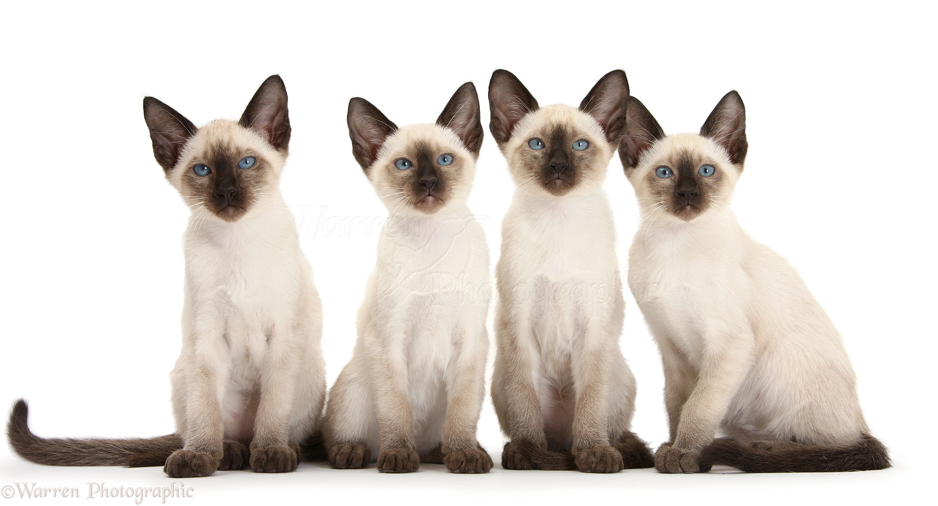 siamese kitten pictures