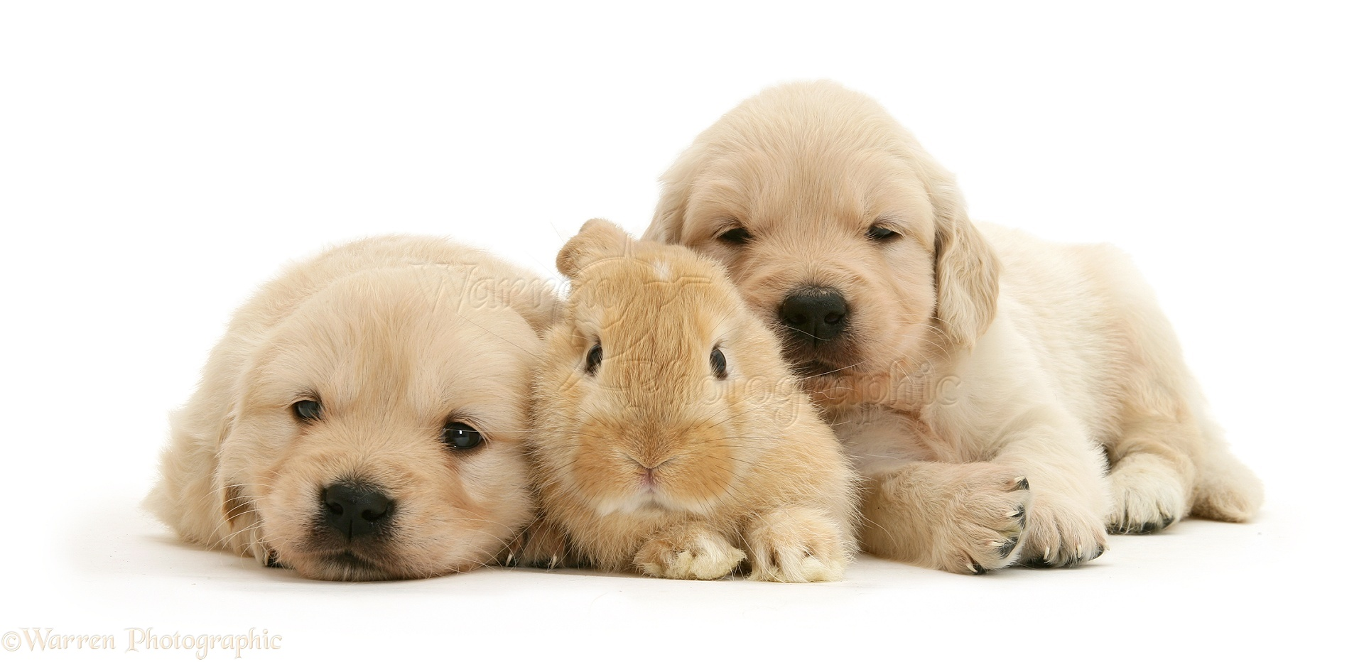 Pets Baby Sandy Lop Rabbit With Golden Retriever Pups Photo Wp30043