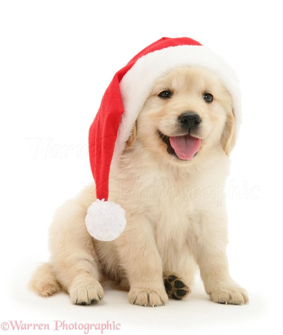 Dog golden retriever pup wearing a santa hat photo wp30074