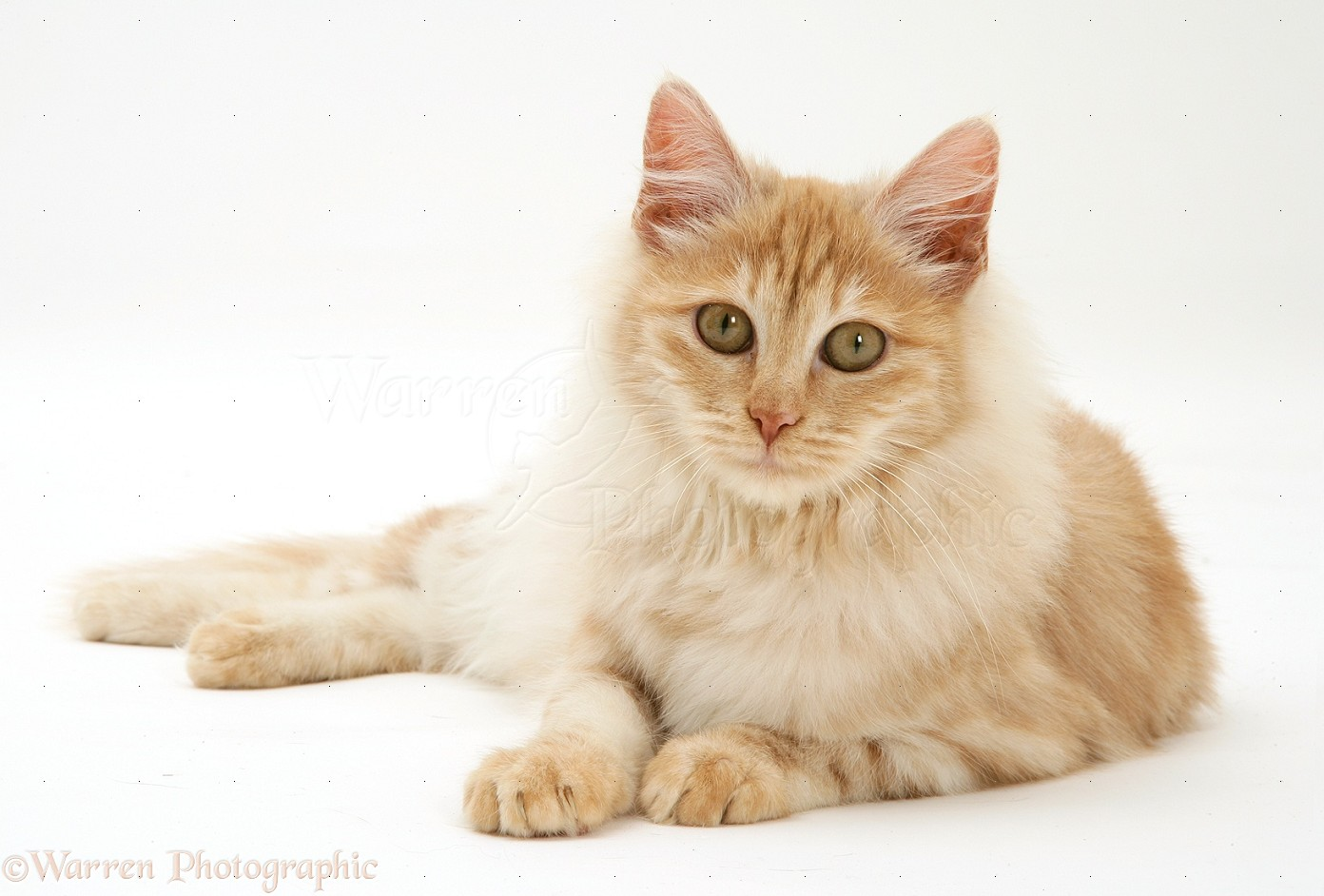 Red Silver Turkish Angora Cat Photo Wp30223