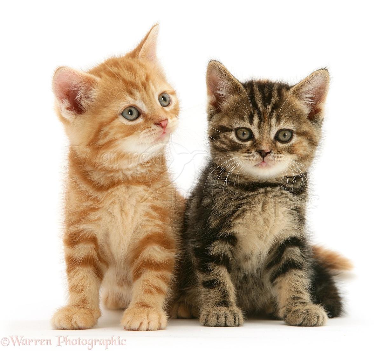 English Tabby Cat Sale