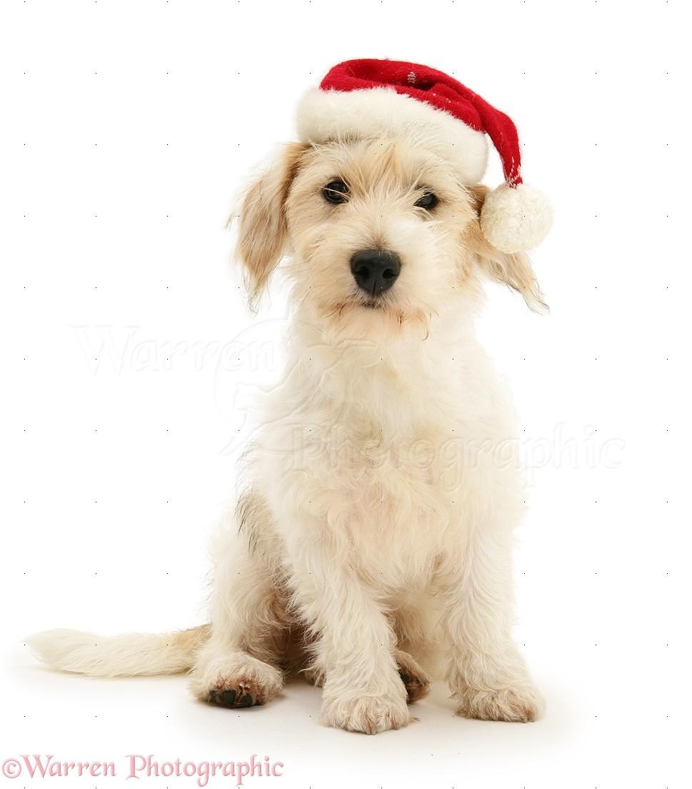 dab98425fa8cb Mongrel dog wearing a Santa hat photo WP30573