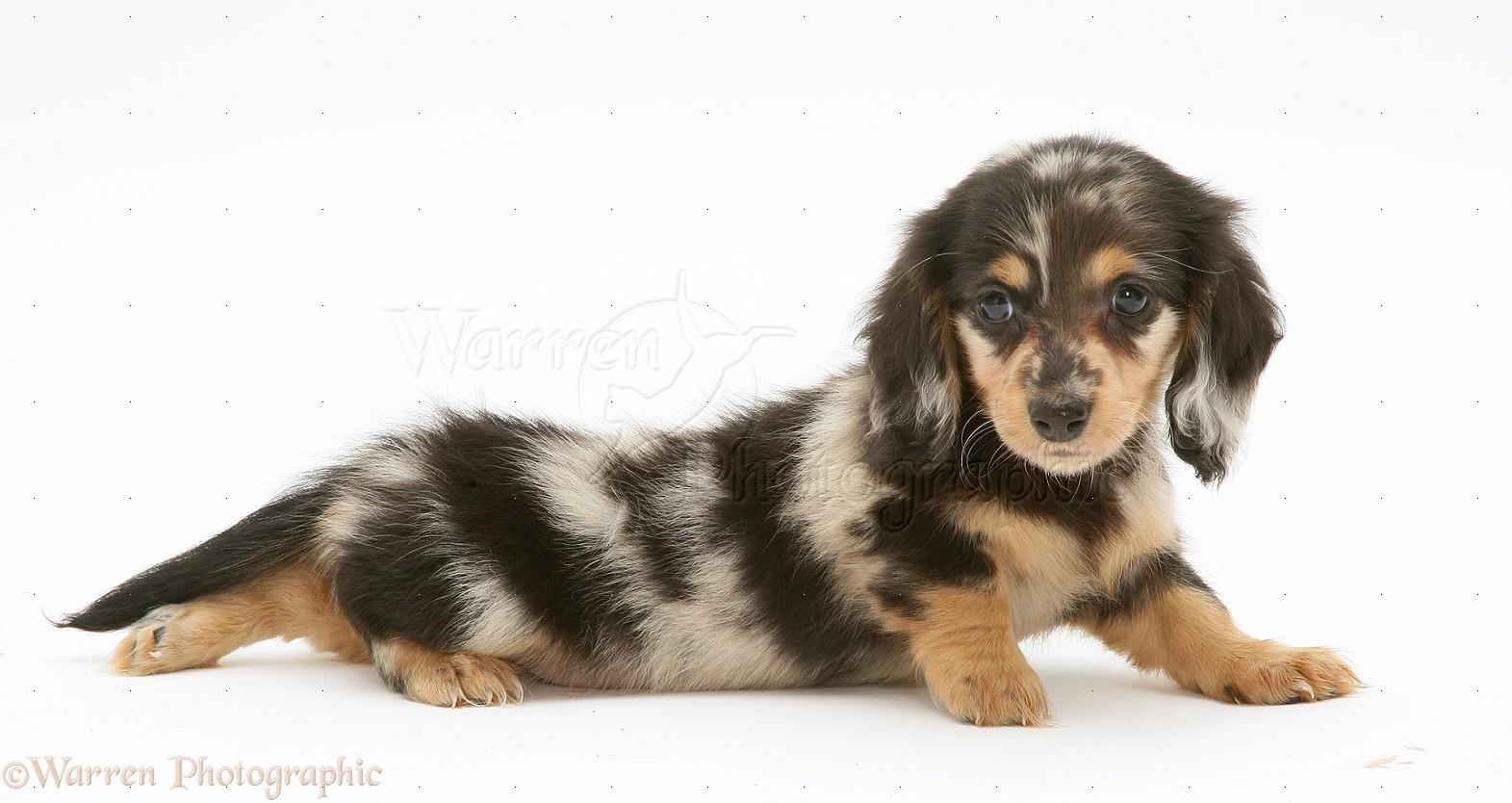 ... black and white dachshund puppies chocolate dapple dachshund puppies