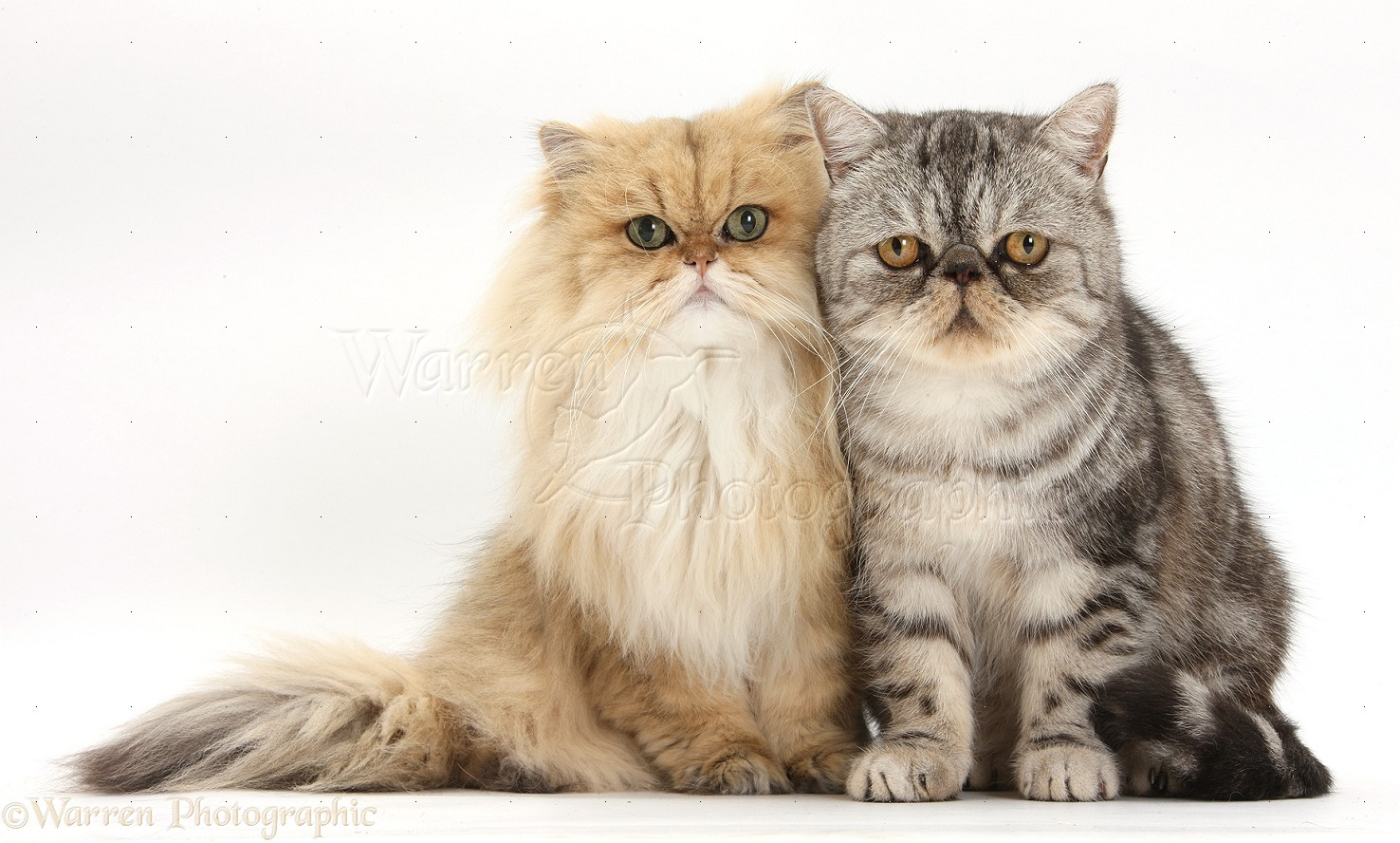 Golden Chinchilla Persian and Silver tabby Exotic cats photo WP