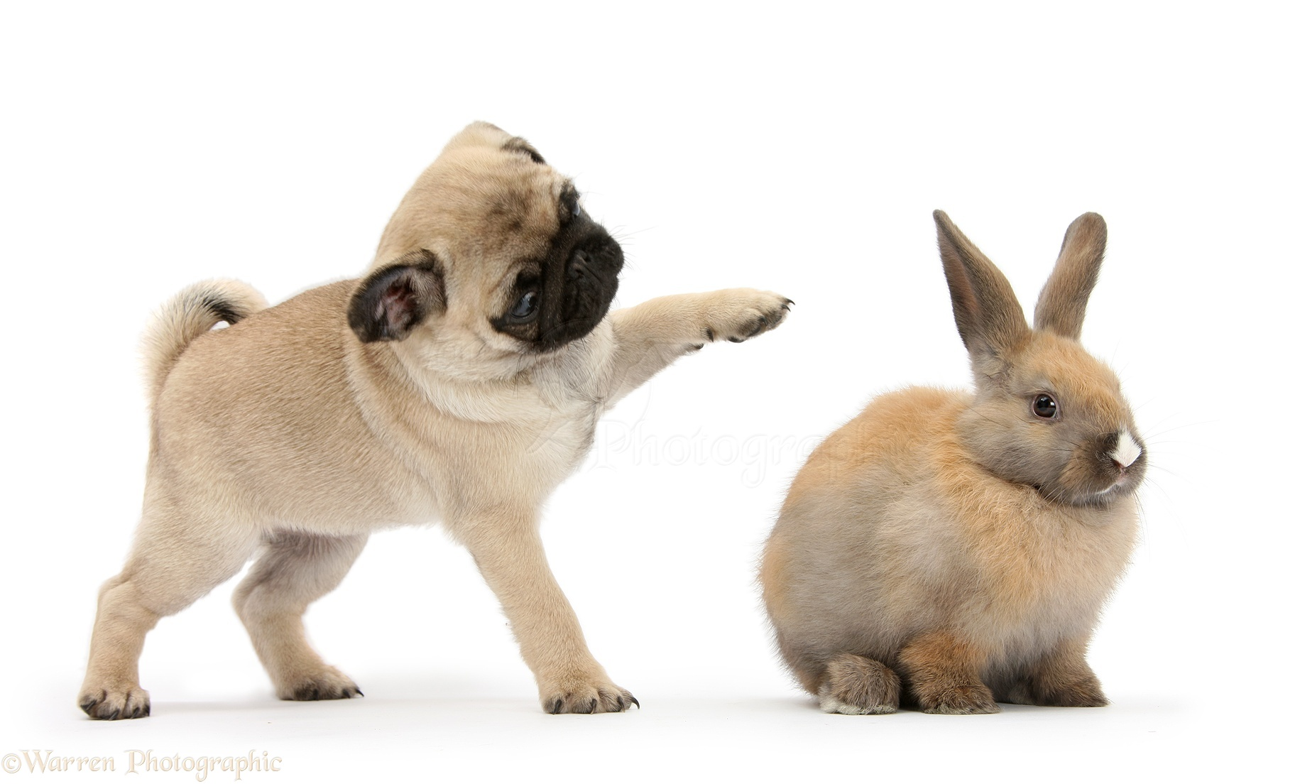 Pets: Fawn Pug pup, 8 weeks old, pawing at young rabbit