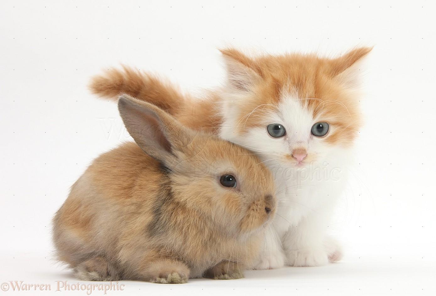 Pets Ginger And White Kitten Baby Rabbit Photo Wp30891