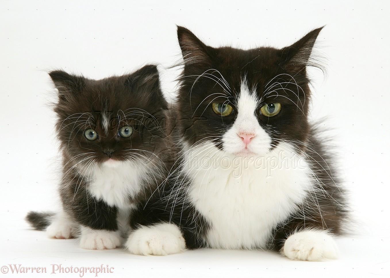Persian cat with kitten photo WP