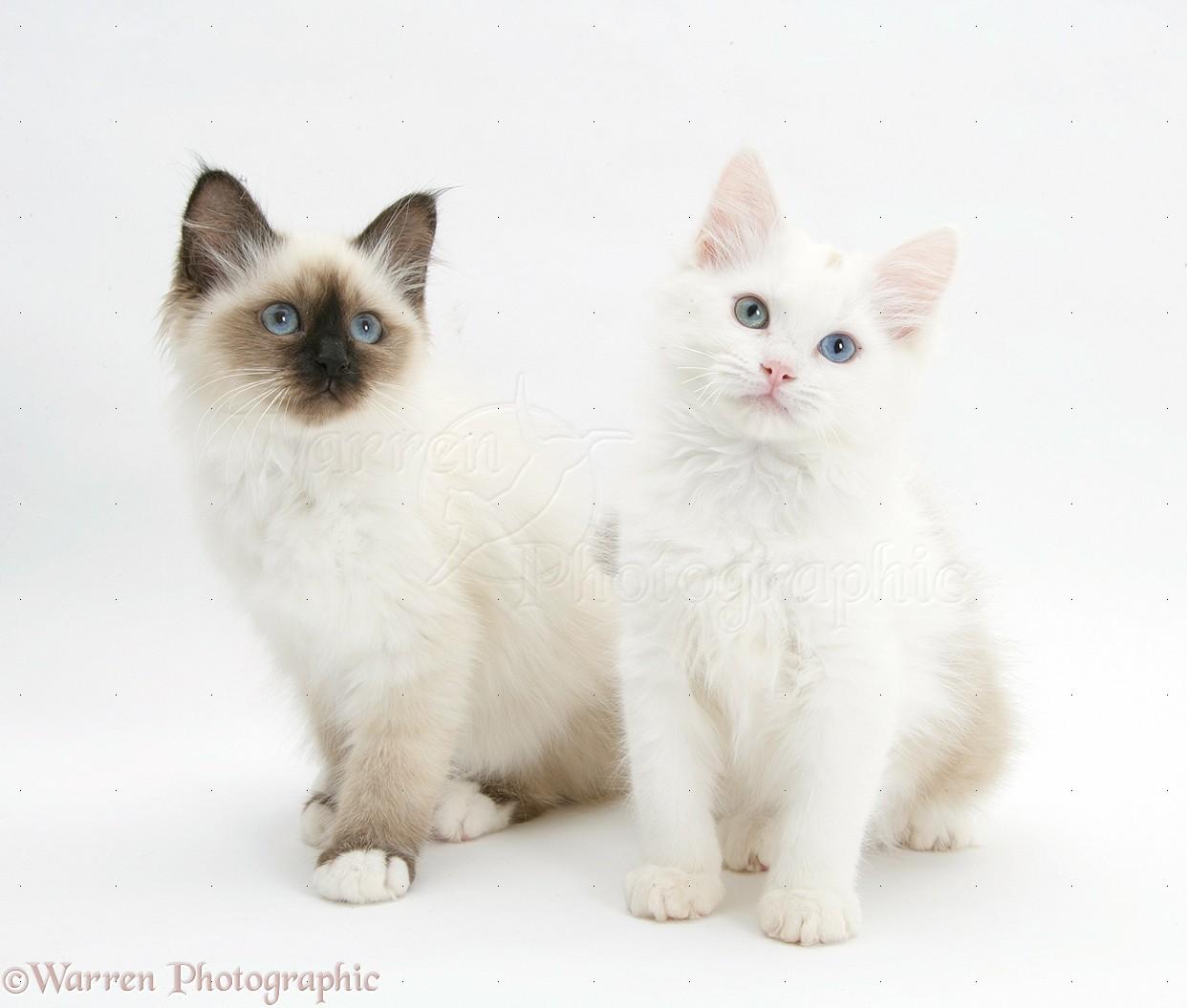White Birman Mix Cats