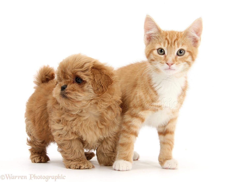 Wp31053 peekapoo pup and ginger kitten tom 11 weeks old