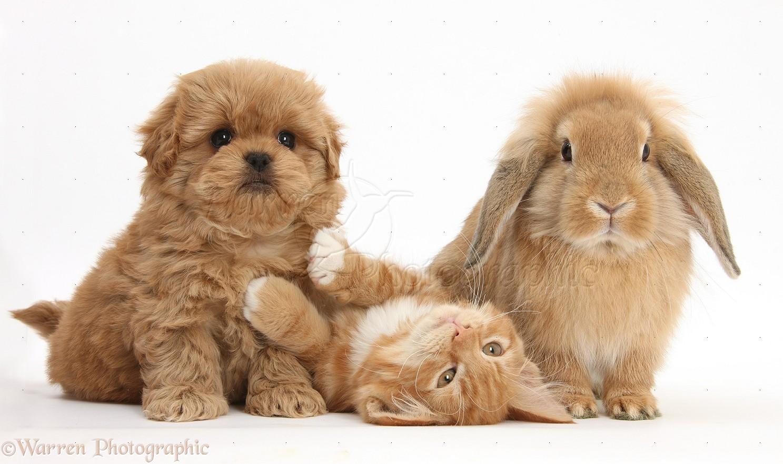 Peekapoo Pup Ginger Kitten Butch 11 Weeks Old And Sandy Lop Rabbit