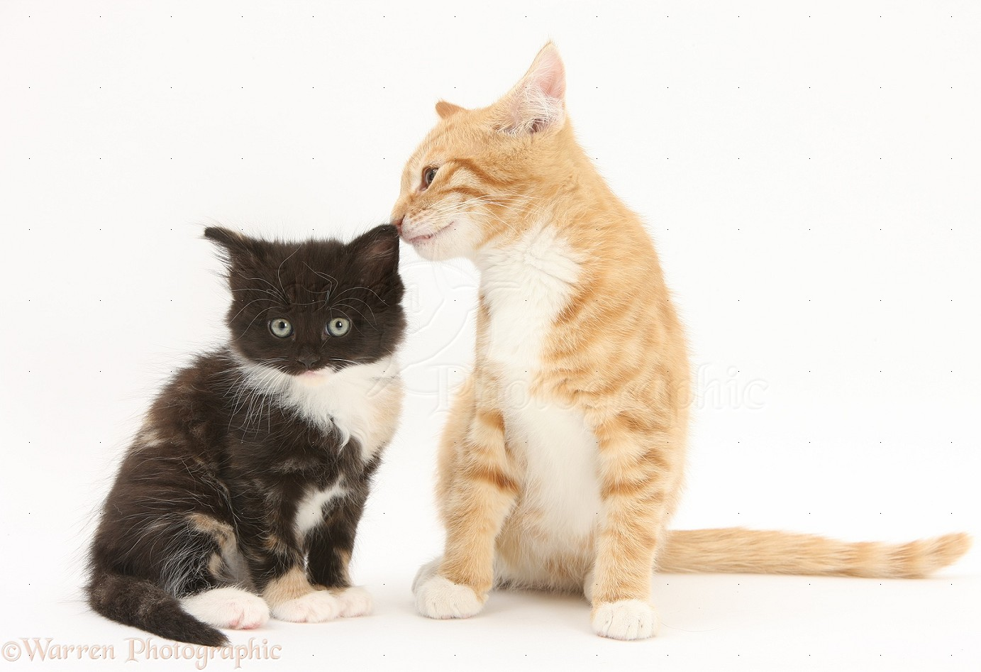 ginger and black and white kittens photo   wp31069