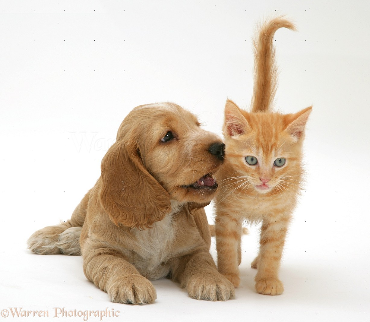 Pets  Golden Cocker Spaniel puppy and ginger kitten photo - WP31093Golden Cocker Puppies