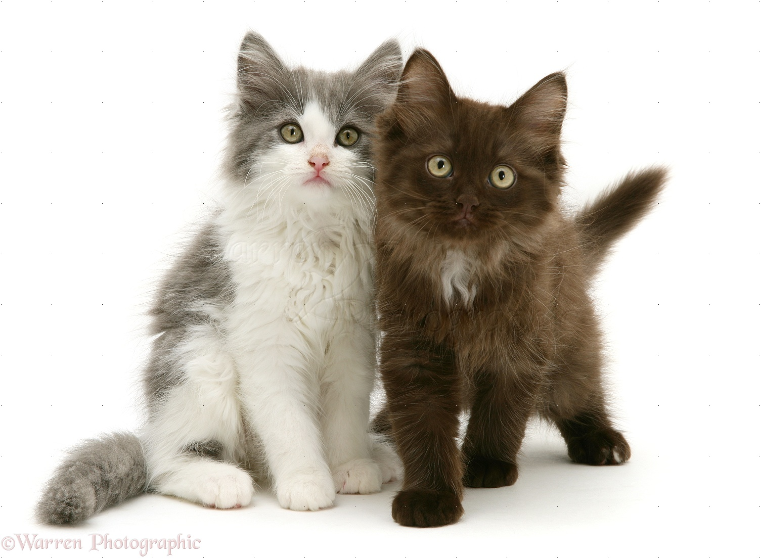 Grey and white and Chocolate Persian cross kittens photo WP