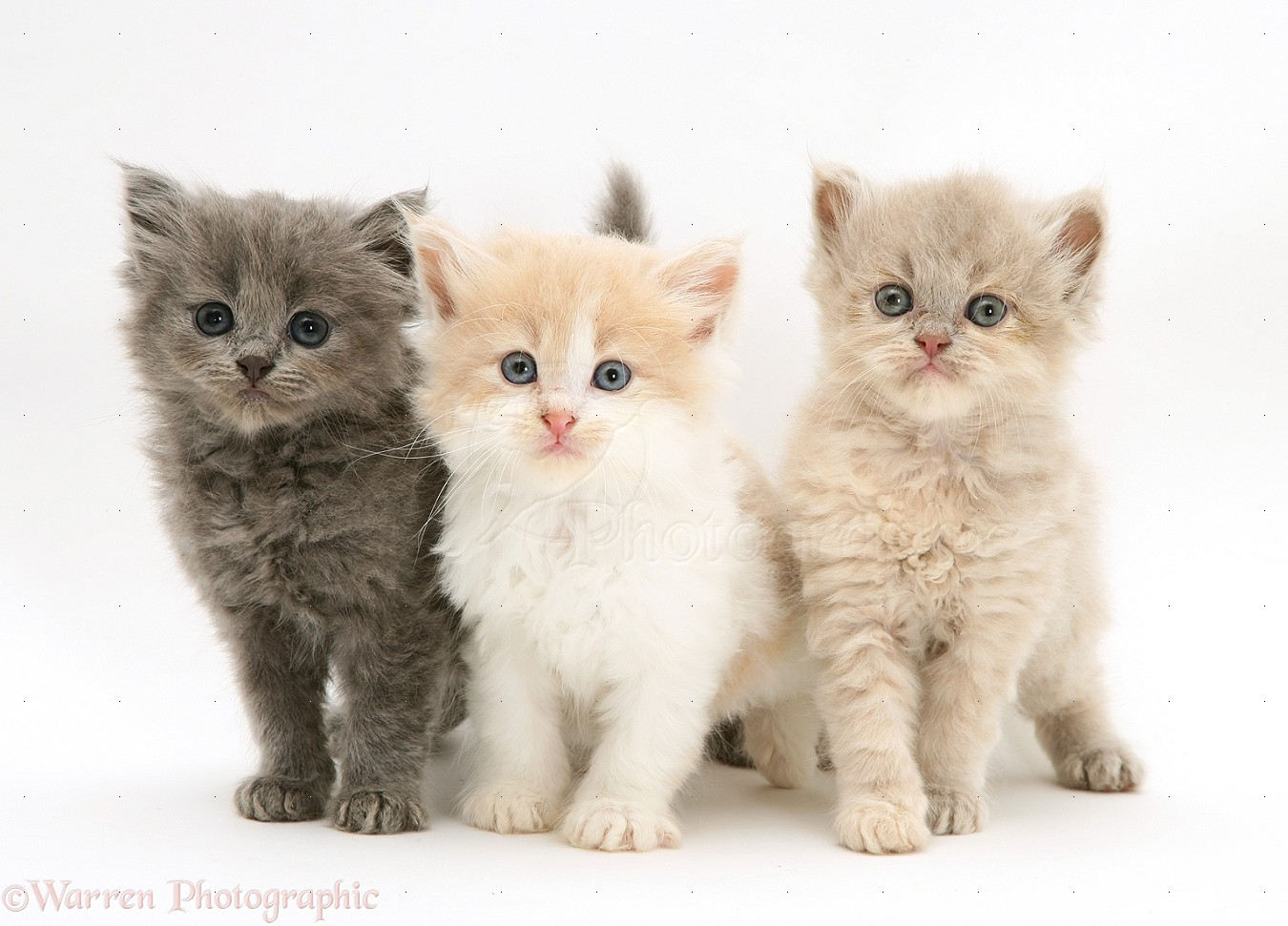 Three cute kittens photo wp31117 The three cats