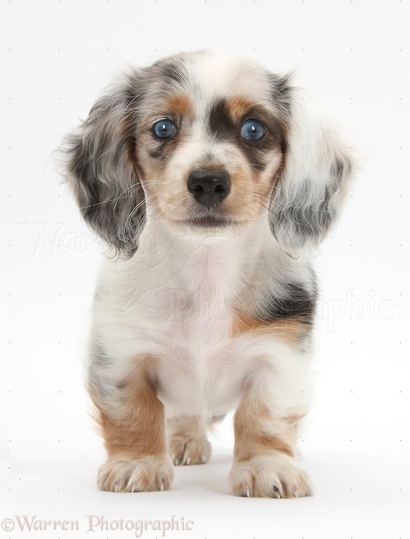Dapple Dachshund pup   Dachshund Dog Dapple