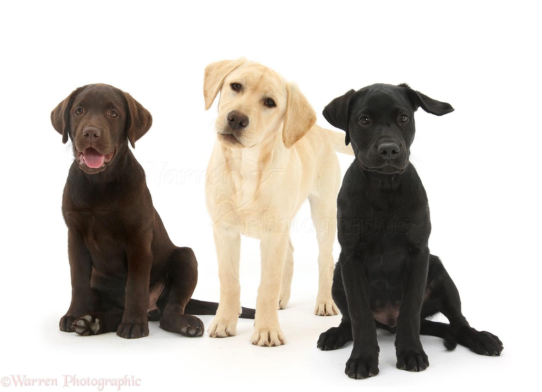 Les Labradors