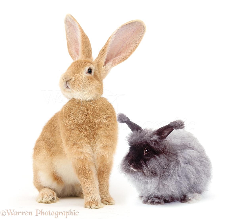 flemish giant and blue angora rabbits photo wp31380
