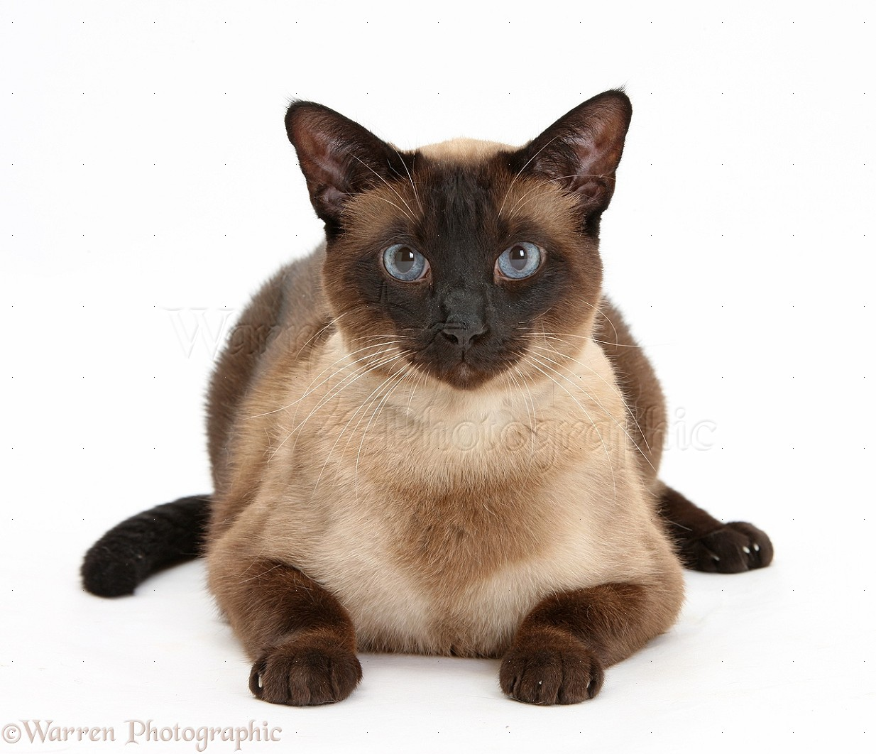 Seal point Siamese-cross cat photo - WP31534