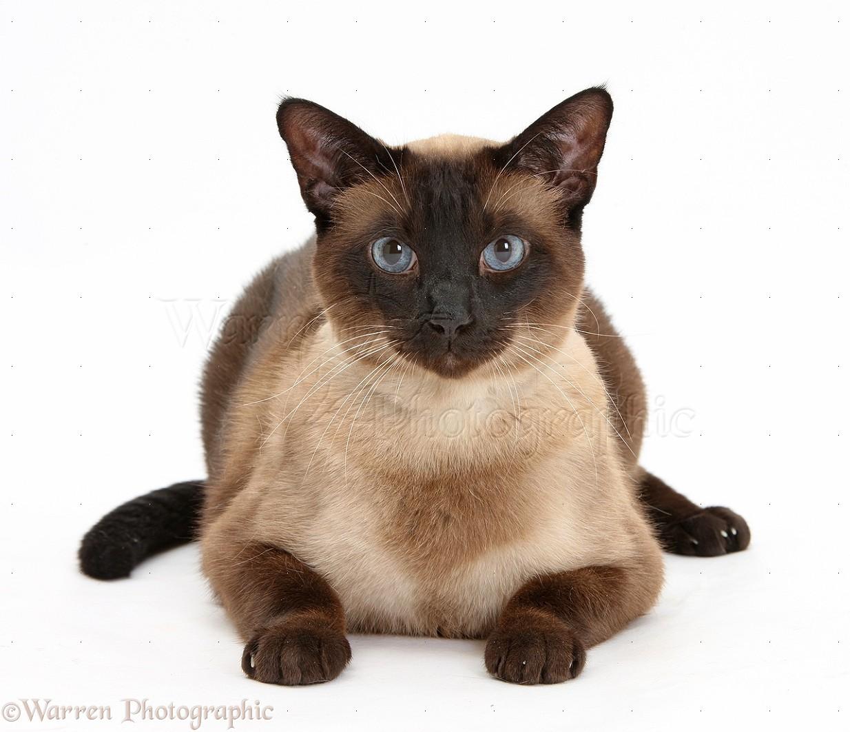 Cat Portraits For Sale