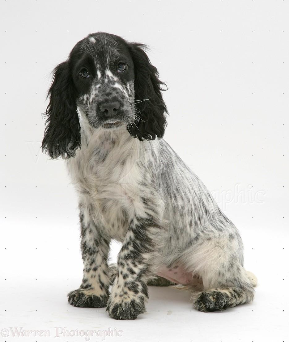 31656-Cocker-Spaniel-pup-sitting-white-b