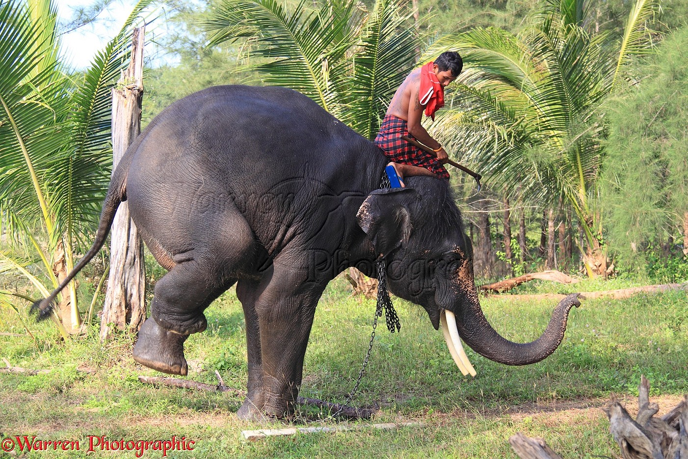 Mahout, getting his elephant to perform a trick photo - WP31671