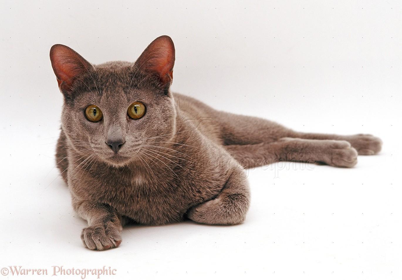Burmese Cat Breeders Uk