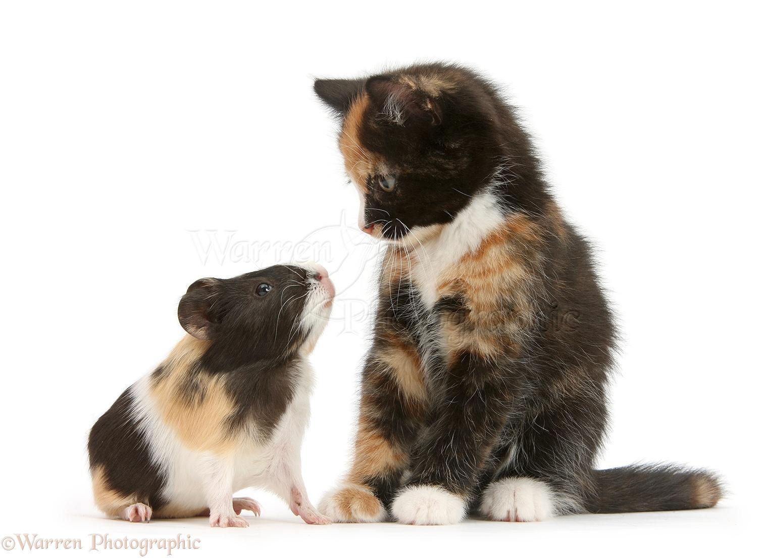 Wp31719 tortoiseshell kitten with baby tortoiseshell guinea pig