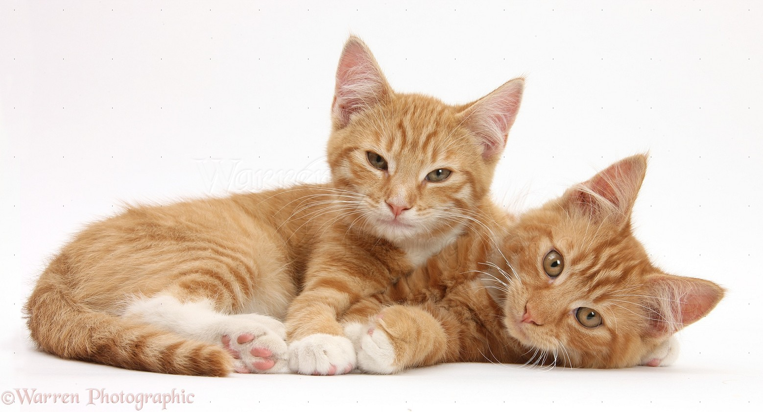 two ginger kittens lounging together photo   wp31770