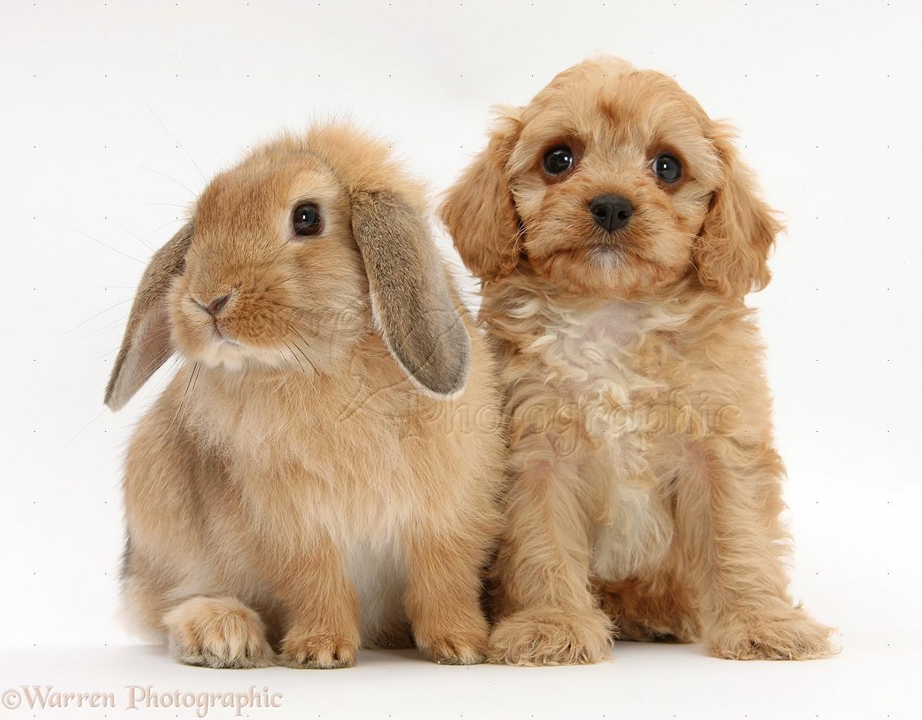 Pets cavapoo pup and sandy lop rabbit photo wp31831