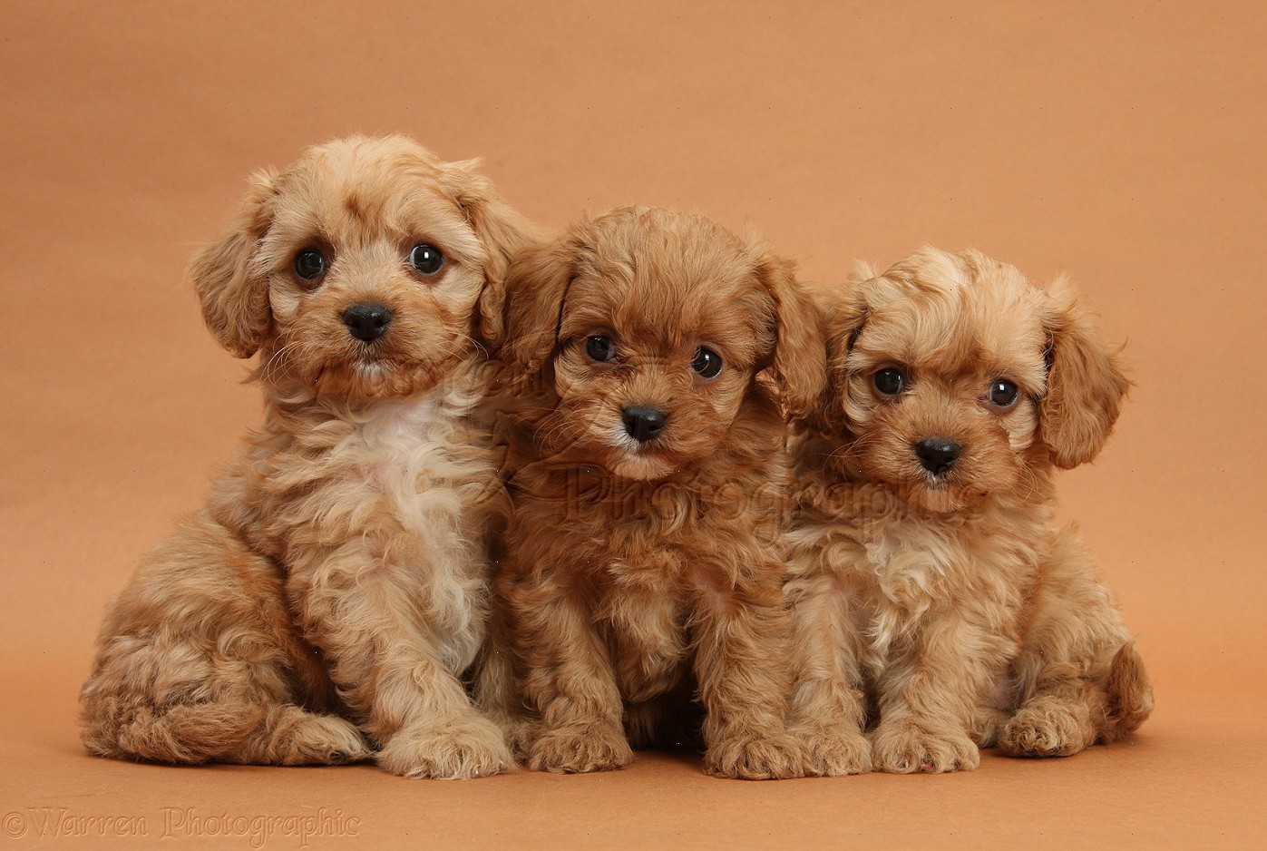 Dogs: Three Cavapoo pups on brown background photo WP31834