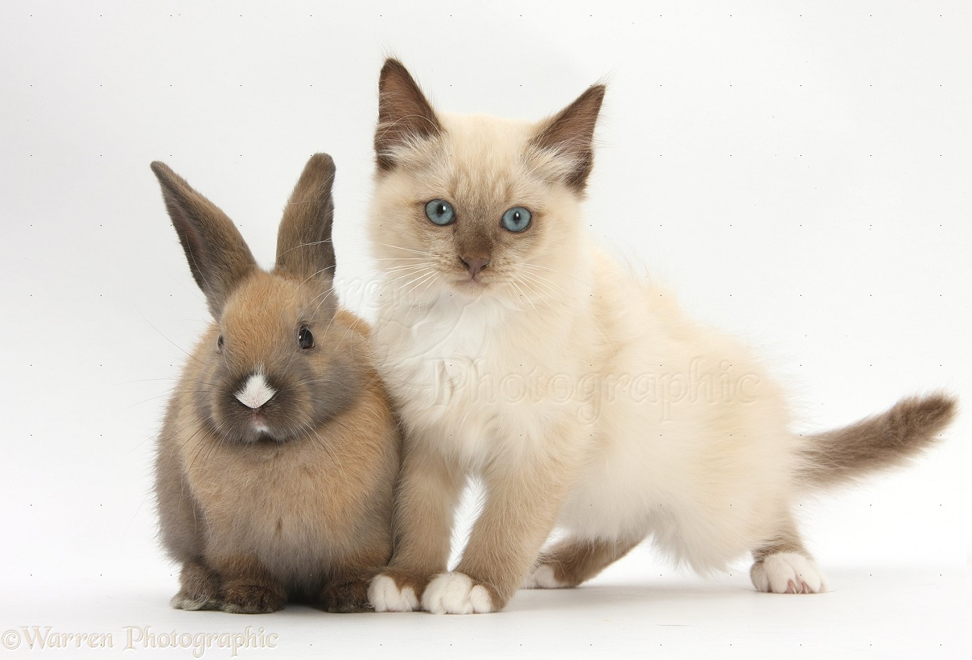 ragdoll kitten pictures
