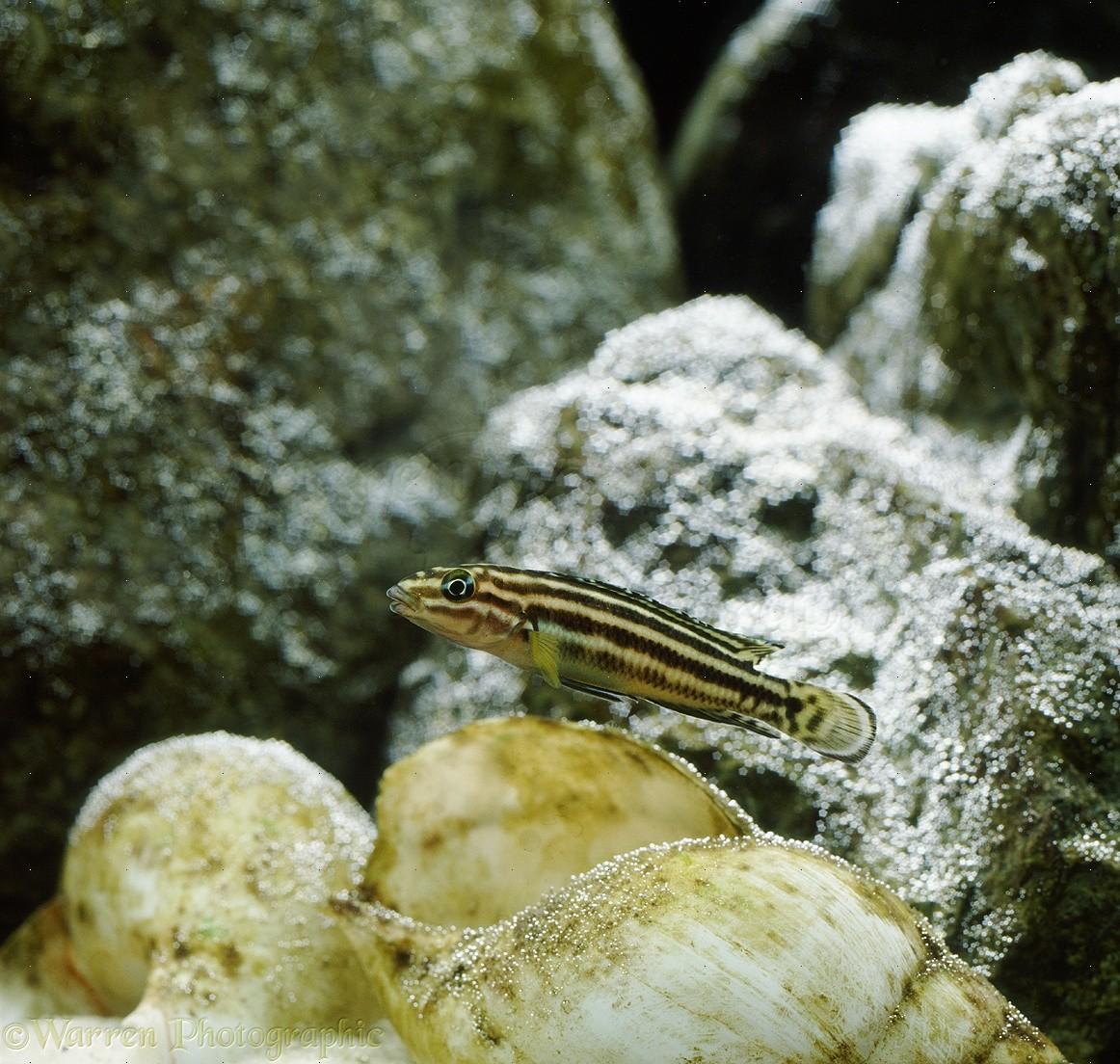 WP31992 Rift Valley Cichlid or Convict Julie ( Julidochromis regani ...