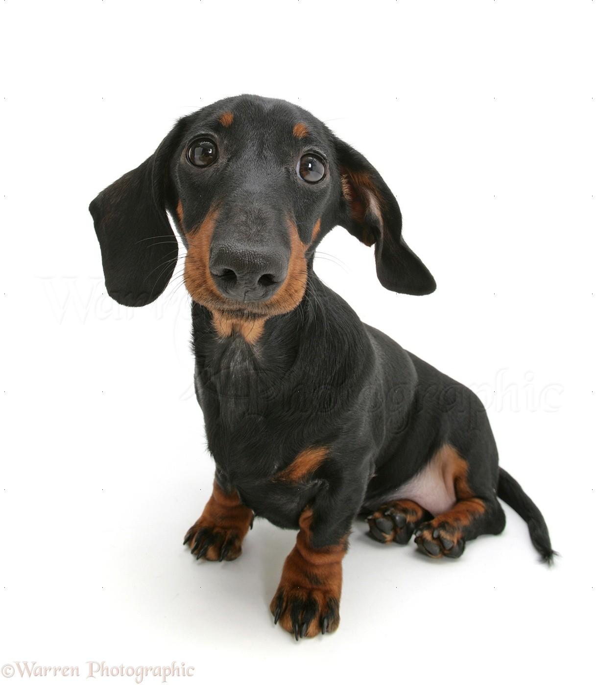dog black and tan miniature dachshund sitting and