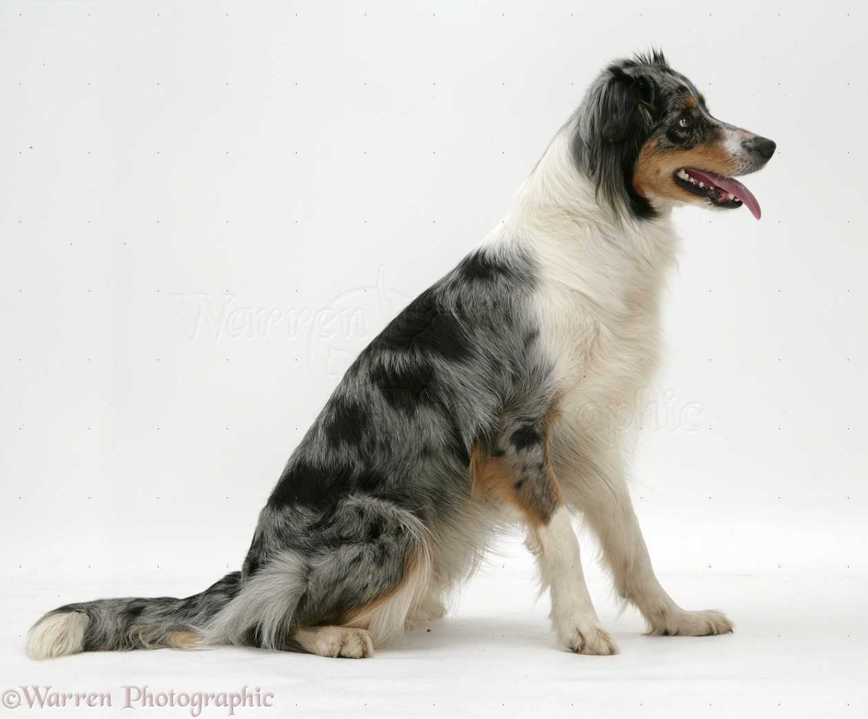 Pin images blue merle border collie dekreu reu wallpaper on pinterest - Preview