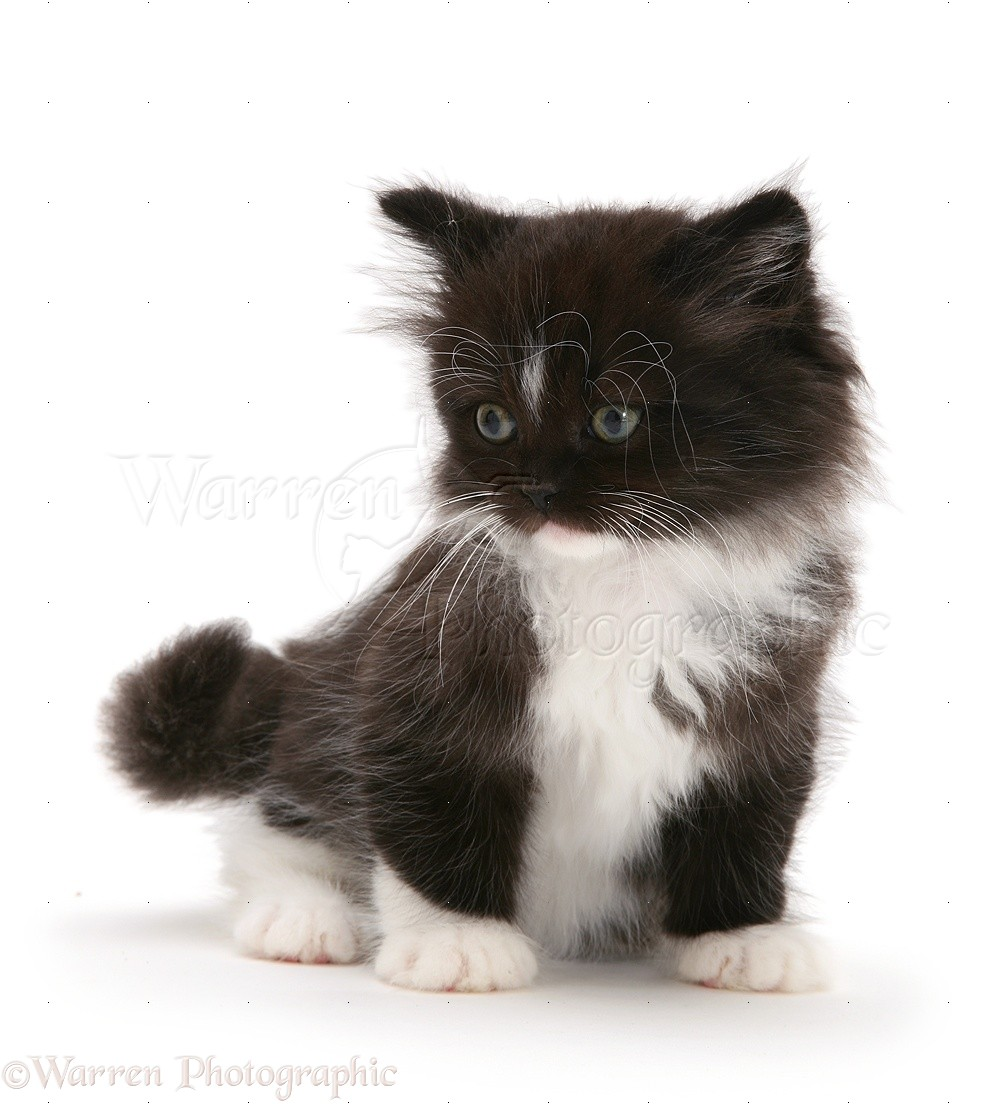 Black And White Longhair Cat For Sale